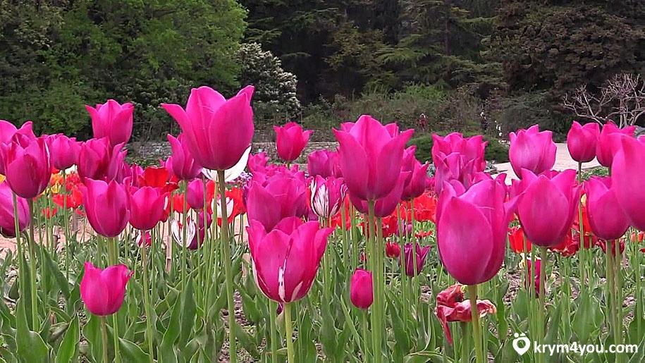 Никитский ботанический сад тюльпаны